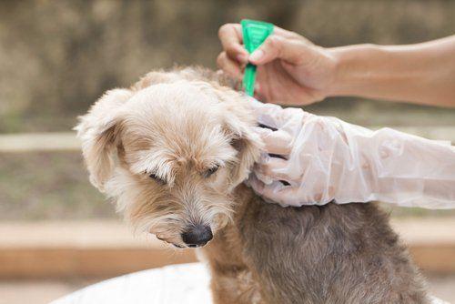 Miglior trattamento per cani e zecche per cani
