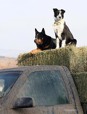 Due cani che si siedono sul mucchio di fieno