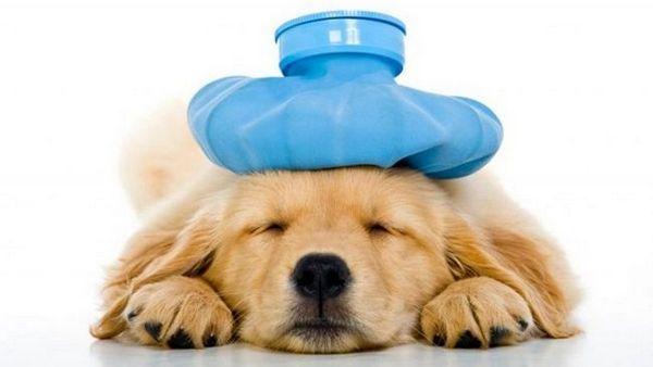 sintomi influenzali del cane