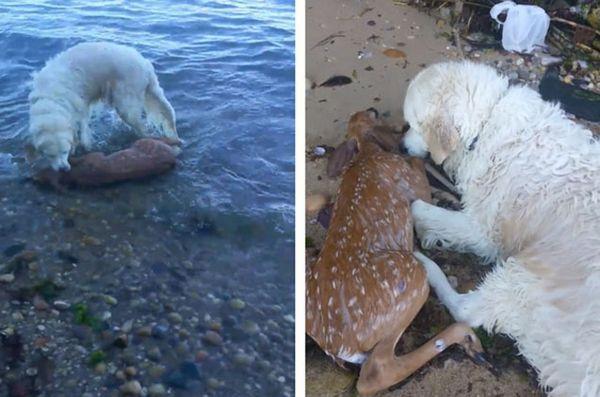 Il cane recupera annegamento cervo, salvando la vita di fulvo [video]