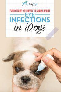 Infezioni oculari nei cani: diagnosi e trattamento dei problemi agli occhi dei cani