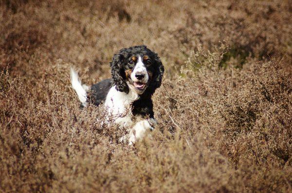Terapia genica promettente per il trattamento delle malattie neuromuscolari nei cani e nell`uomo