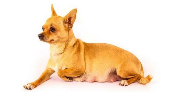 Per quanto tempo i cani sono in stato di gravidanza?