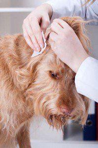 Come pulire le orecchie di cane a casa