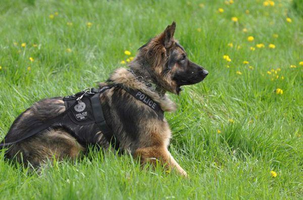 La nuova legge canadese rende un reato offendere i cani di servizio
