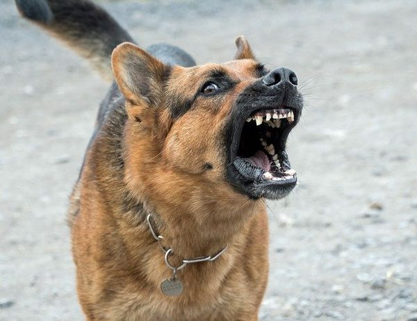 Immagine di pastore tedesco arrabbiato