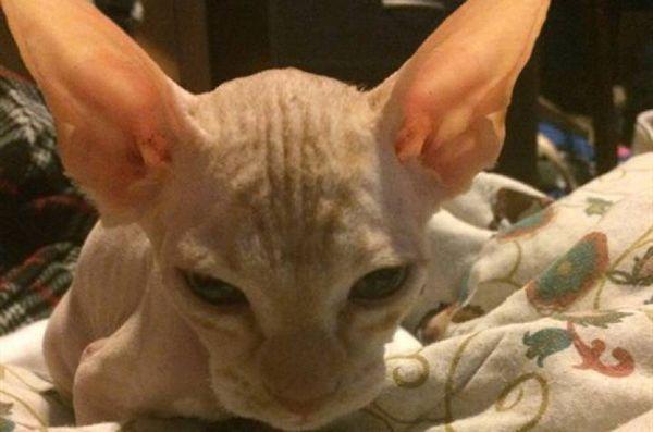 Scammer rade i gatti normali, upsell come razza rara senza pelo