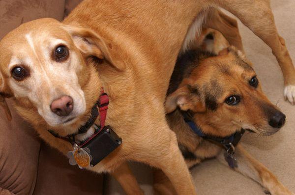 Studio: i collari elettronici per cani potrebbero fare più male che bene