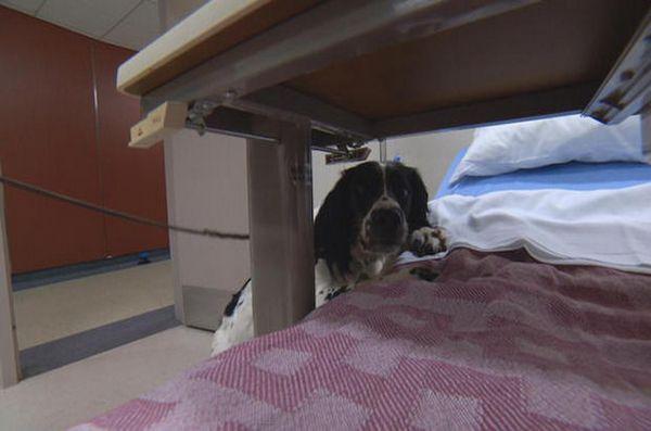 Il super cane annusa i superbatteri all`ospedale di Vancouver