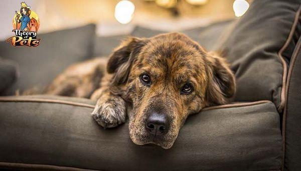 Top 38: consigli di un addestratore di animali domestici su come trattare l`ansia nei cani