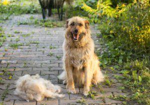 I 5 migliori prodotti per la depilazione del cane