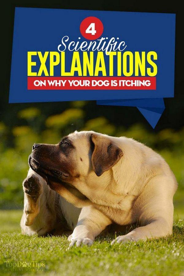 Perché è il mio cane prurito motivi